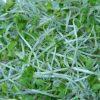 ブロッコリースプラウトの健康効果がすごい!自分で栽培できる?